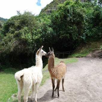Kissing Llamas ay Machu Picchu