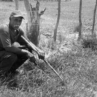 Havesting the sugarcane