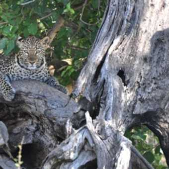 This leopard was not at all pleased to see us and eventually disappeared into the trees