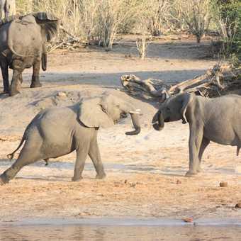 Elephants at dusk - Chobe