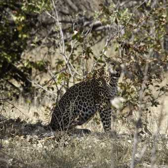 Moremi Leopard.