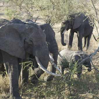 Elephant in Ngorongoro creator