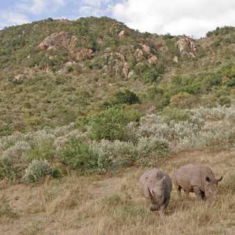 White Rhinos below Rhino Ridge