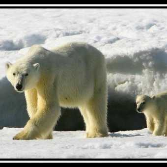 Polar Bear & Cub 6