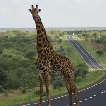 Giraffe on road
