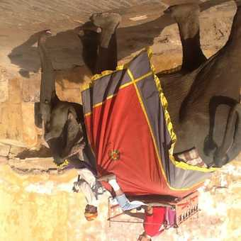 Elephant at red for in Jaipur