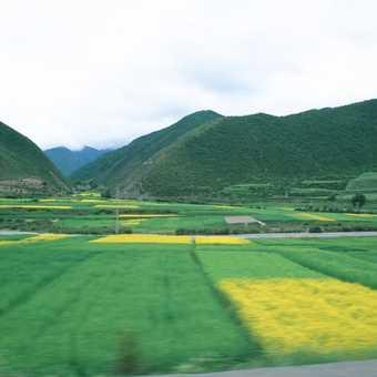 Mustard fields near Xiahe