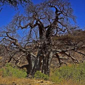 Mighty Baobab