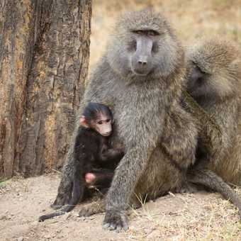 Family of Baboons - Lake Nakuru