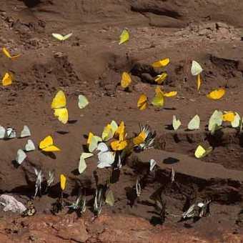 Butterflies at salt lick