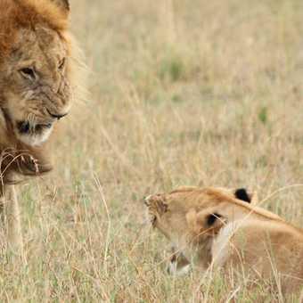Lions, Masai Mara