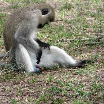 Monkey busineess (Nakuru State Prk)
