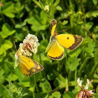 Butterflies - Clouded Yellow