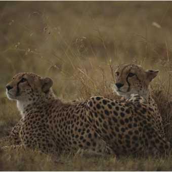 Cheetahs in the rain