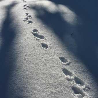 Hare tracks