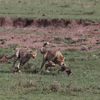 another hare-raisinf pic! Narasha's 2 sub-adults go it alone