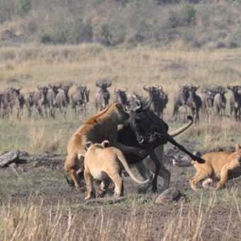 We all thought the wildebeest was a goner - but after being left for dead it got up and joined its c