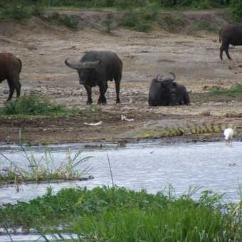 Uneasy Coexistence  near Kazinga Channel
