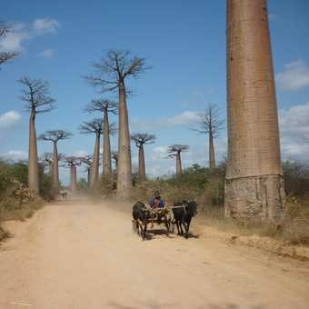 Alley of the Baobabs, near Morondava