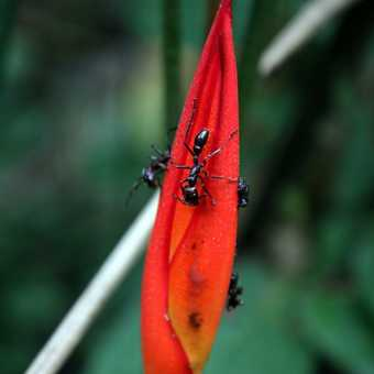 Soldier Ant