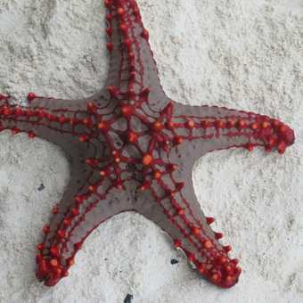 starfish on nungwi beach