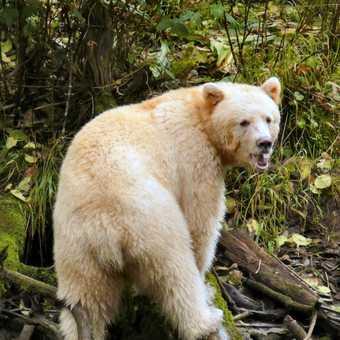 Spirit Bear at Ryondan 2