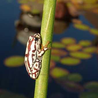 Okavango frog