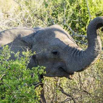 Elephant - Kruger NP