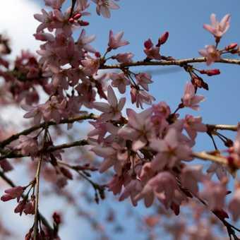 Cherry Blossom 01, Kyoto