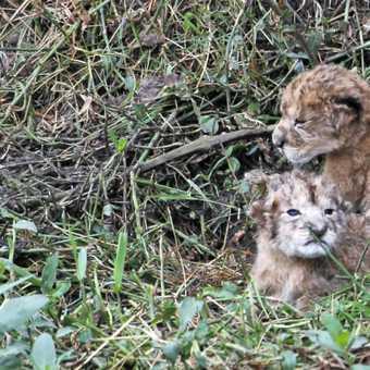 Lion cubs - 2 hours old