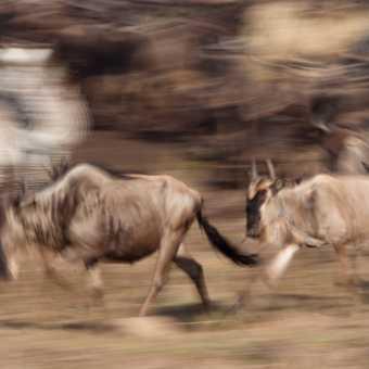 Running Woldebeests