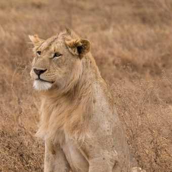 Lion dreams, Ngorongoro Crater