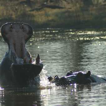 Hippo pools Moremi