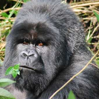 looking into the eyes of a silverback