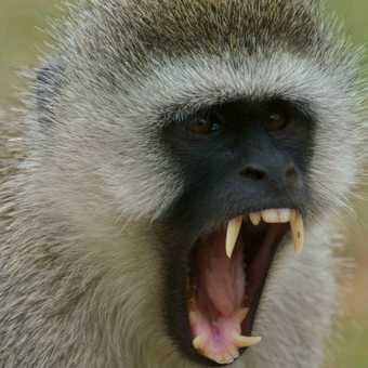 Vervet monkey showing off his impressive set of teeth.