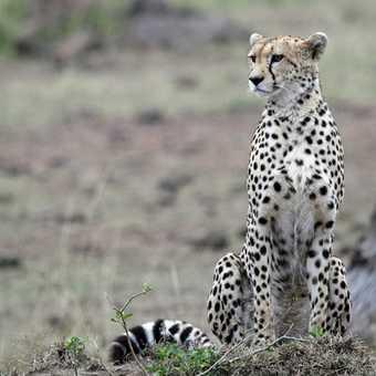 Posing Cheetah