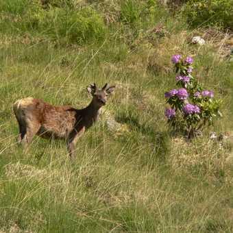 Row Deer at Glenfinnen