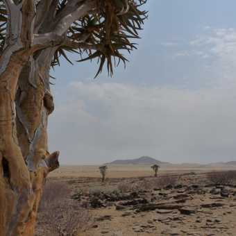 Quiver trees in the Namib Desert