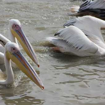 Pelicans feeding in Djoudj