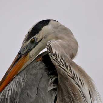 Majestic Heron