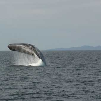 Sperm whale breach 2