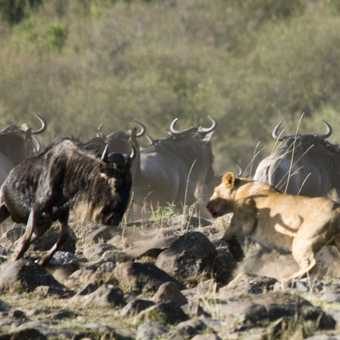 Lion and wildebeast standoff