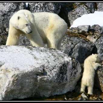 PolarBear&Cub10