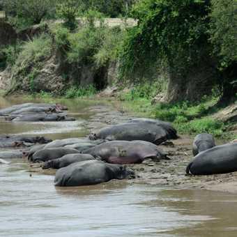 Hippos in Mara River