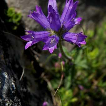 Flowers - Bellflower
