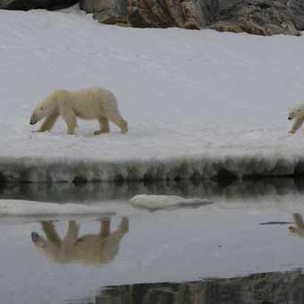 Polar Bear climbing high