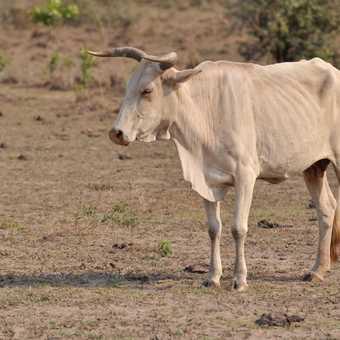 Cattle - Pantanal