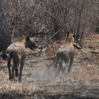 Hyenas making off with the remains of the lions' dinner