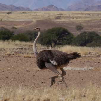 Ostrich trying to out run us