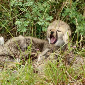 Two week old cheetah cubs